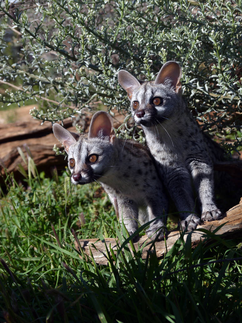 Small-Spotted Genet 2 by DoWnHIller