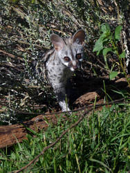 Small-Spotted Genet 4 by DoWnHIller