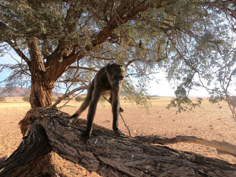 Chacma baboons in the Namib desert 1