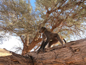 Chacma baboons in the Namib desert 2
