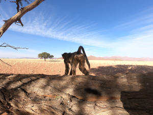 Chacma baboons in the Namib desert 3