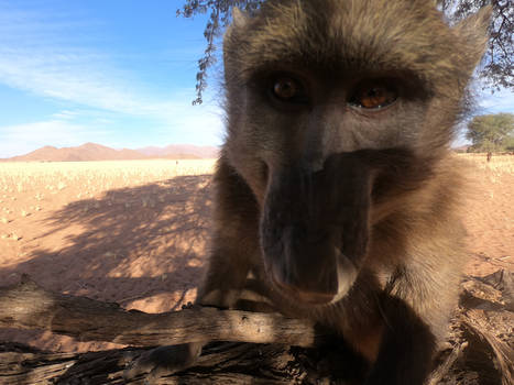 Chacma baboons in the Namib desert 4
