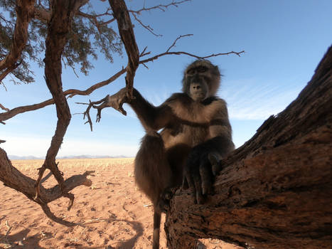 Chacma baboons in the Namib desert 5