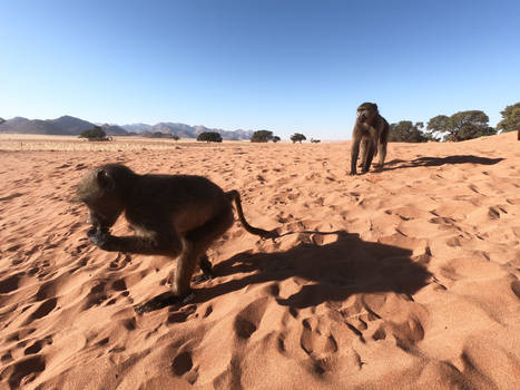 Chacma baboons in the Namib desert 6