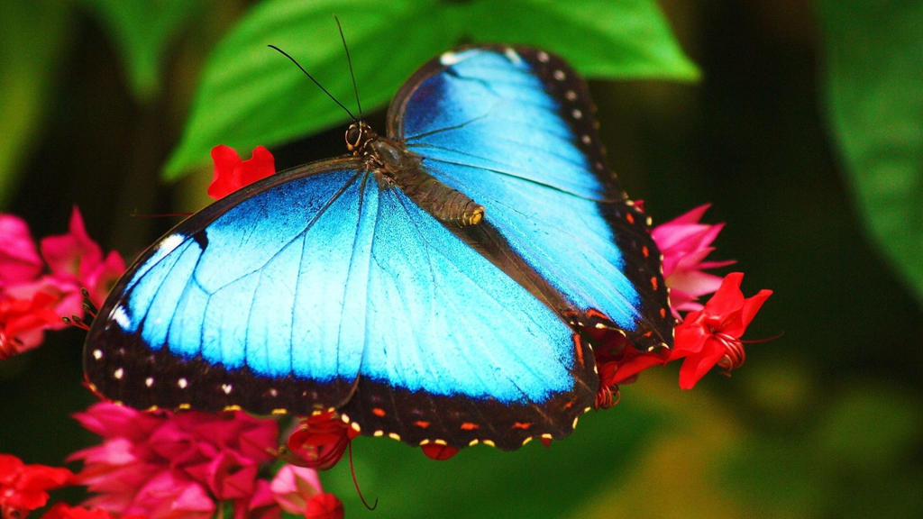 Beautiful-blue-butterfly-hd-wallpaper-unique-natur by ...