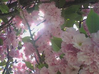 Pink Flowers by Tomboysupergeek