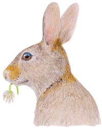 Rabbit with White Clover