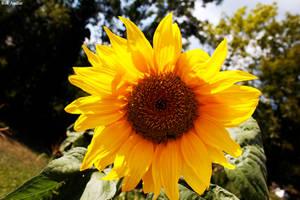 sunflower by rok993