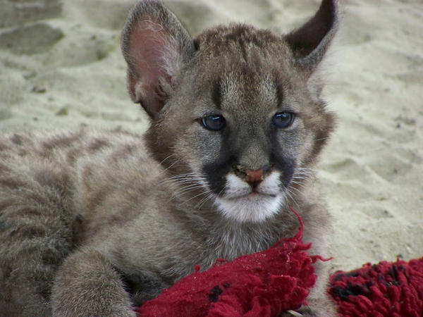 baby puma by LidiaL on DeviantArt