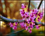 Redbud Blooming