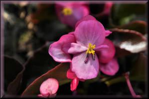 Brilliant Begonia