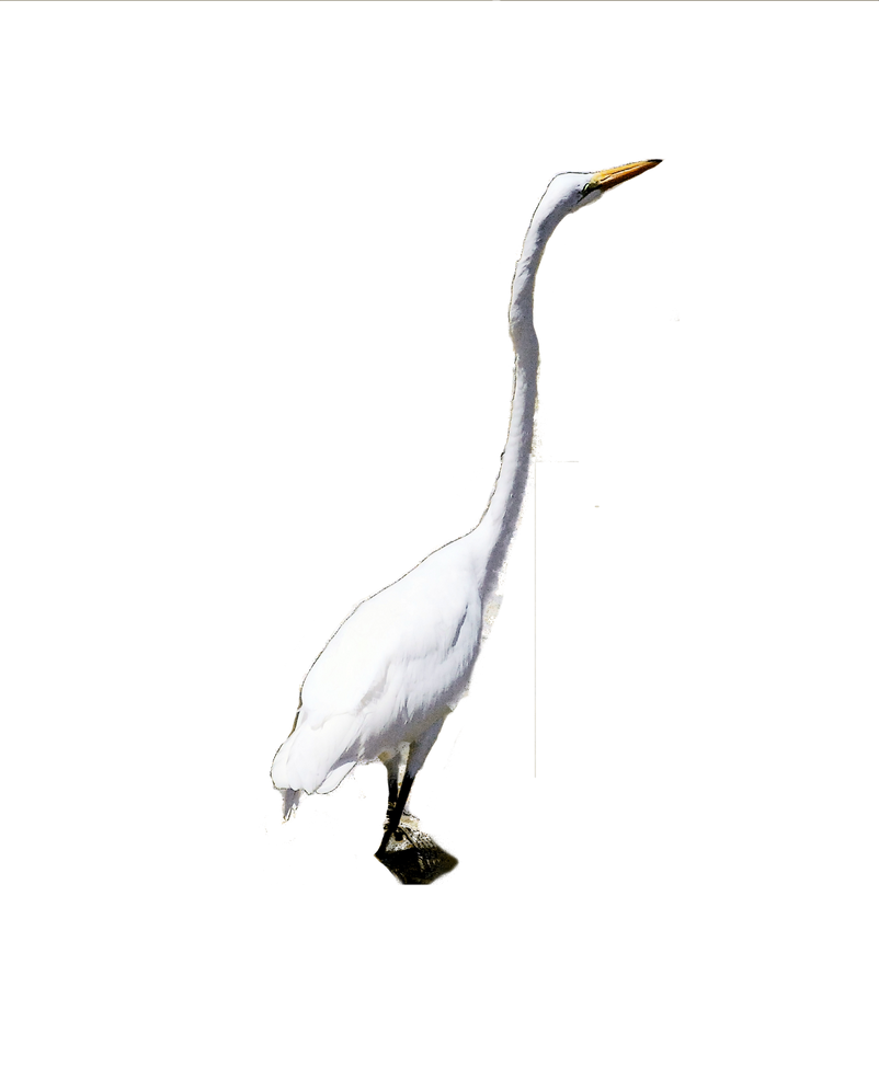 Great White Egret Stock by TThealer56