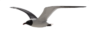 Seagull Straight Flight