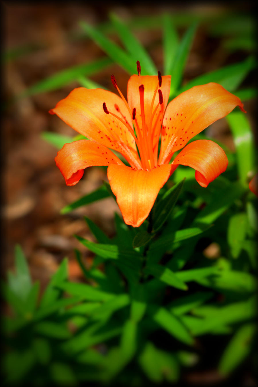 A Simple Orange Lilly by TThealer56