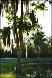 In The Glow Of The Spanish Moss