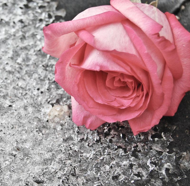 Frozen Rose by misticloudz