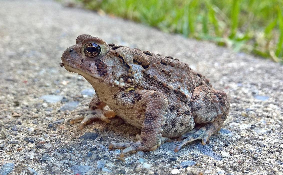 Spadefoot toad by jackthetab