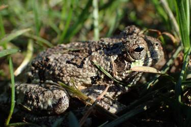 Tree frog by Tibbers4U