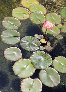 Hawaiian Waterlily - stock