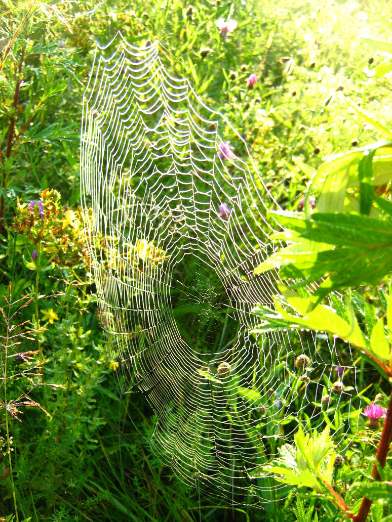 Morning dew on a spider web by photoyogin