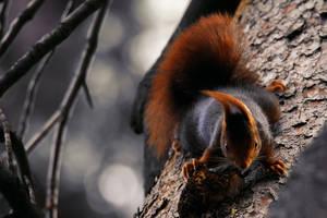 Orange Squirrel by NENE00