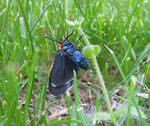 Virginia Ctenucha Moth by PinkLars