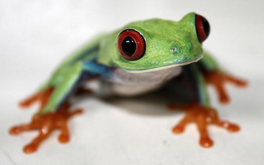 Red Eyed Tree Frog  5 by pdxcabby