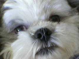 Bruiser, the shih-tzu