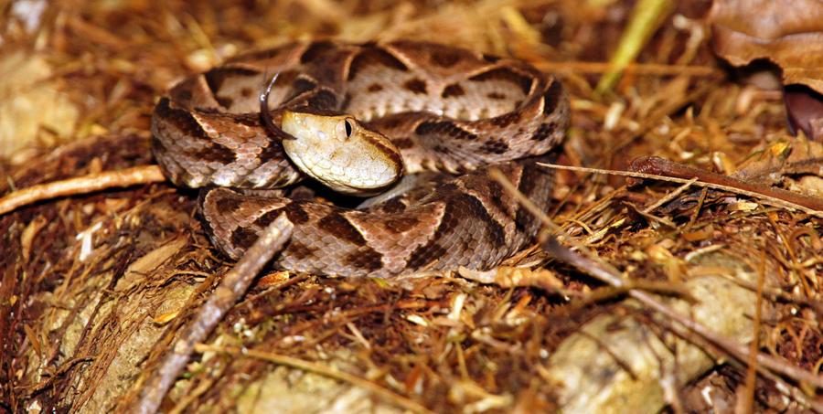 Fer De Lance Snake Necrosis