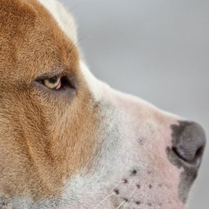 americanbully's Profile Picture