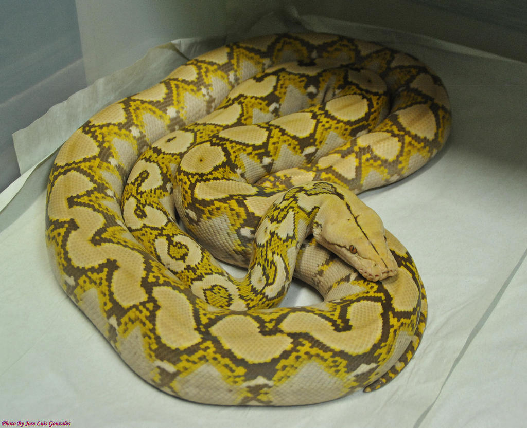 Mochino Reticulated Python By Jayconstrictors12 On Deviantart