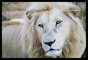 White Lion by C-Puff