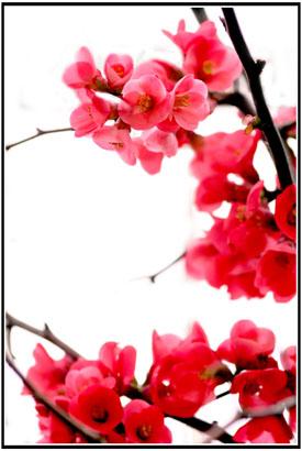 http://fc00.deviantart.net/fs13/f/2007/073/c/3/Japan_Flower_by_joganelken.jpg