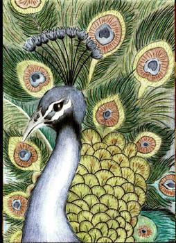 Indian Peafowl, Paw Indyjski