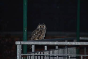 Triggered owl rar by CoastChiller