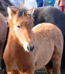 Bay Foal - Horse Stock