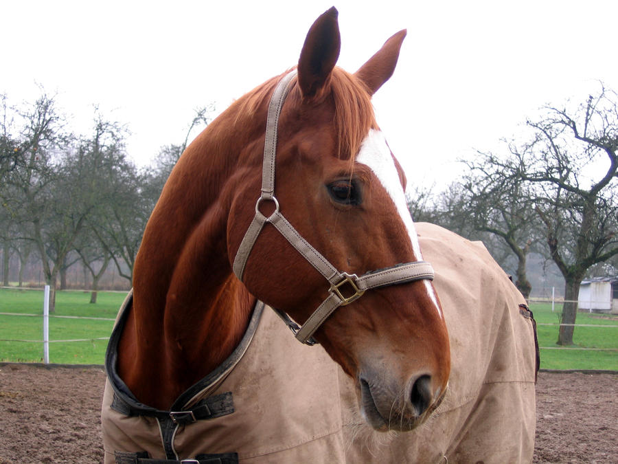 Horse Stock: Warmblood Head by thevirtualgaucho