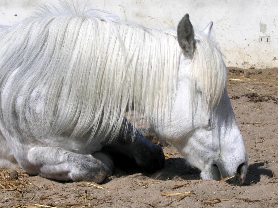 Horse Stock: Grey Pony Lying by thevirtualgaucho