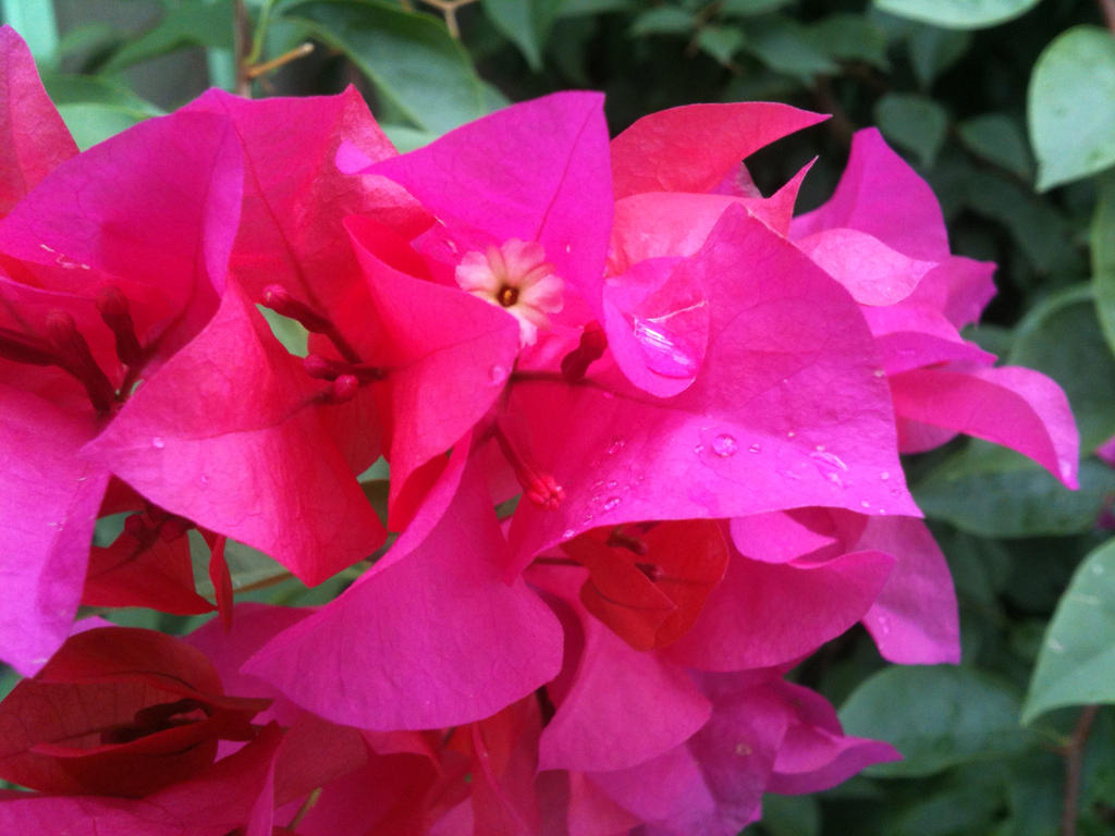Bougainvillea by djatapasko