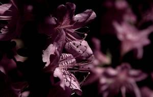 azaleas 3
