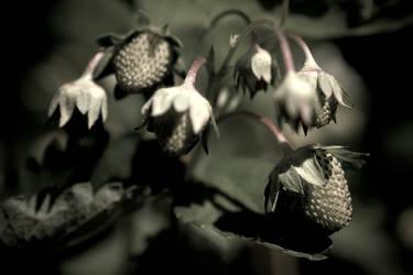 strawberries 1 by ivoryacidlust