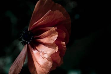poppy 1 by ivoryacidlust