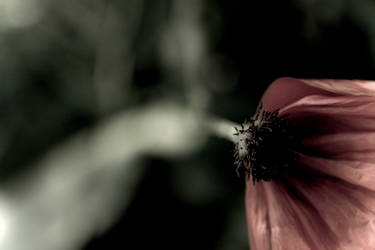 poppy 2 by ivoryacidlust