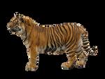Pre cut Tiger