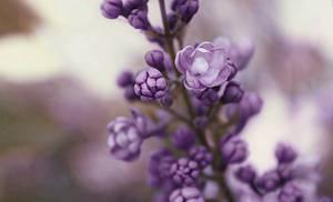 Lost purple
