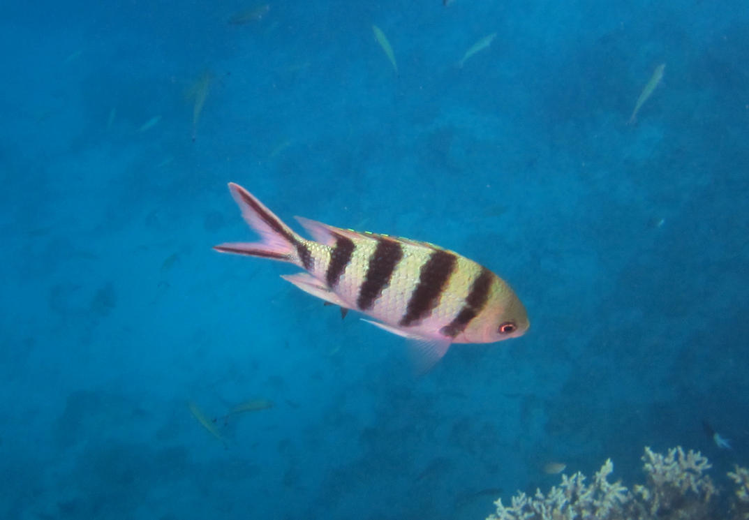 Striped fish great barrier reef by delta9nick on deviantart for Striper fish pictures