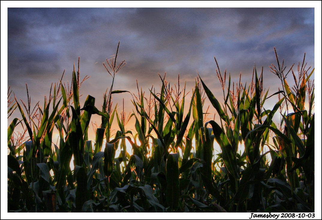 corn by jamesboy
