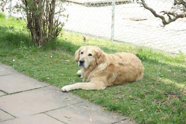 Dog 01 by MoraNox-Stock