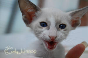 Laugting Kitten by CurlyJul