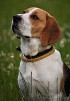 ...beagle... by canismaioris